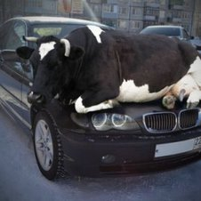 Echt Kuh Les Auto Tuning Bilder Videos Lol De Auto