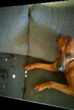 Hund zerstört Controller