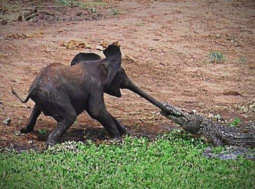 Elefant und Krokodil spielen Rüssel-Tauziehen