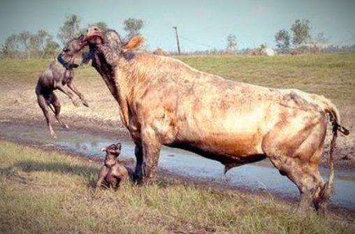 Hunde fallen Wasserbüffel an