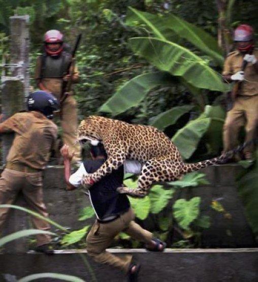 Leopard fällt Menschen an