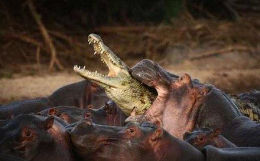 Nilpferd beisst Krokodil