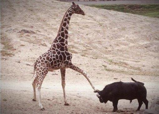 Türsteher-Giraffe gegen Stier