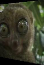 Dramatischer Lemur (dramatic lemur)