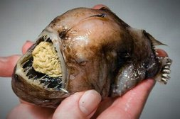 Brain-Fisch