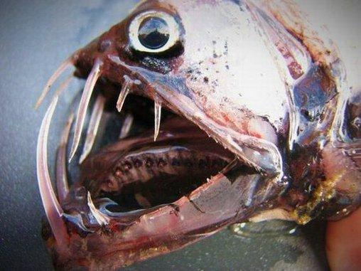 Fisch mit riesigen Fangzähnen