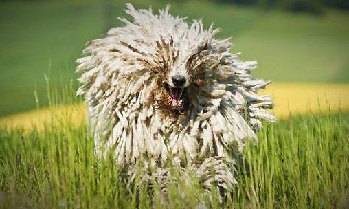 Ein ungarischer Hirtenhund