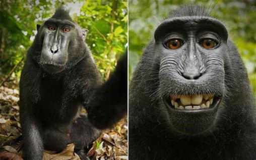 Affe macht Selfies