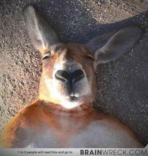 Müdes Känguru