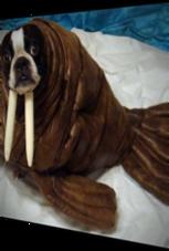 Hund wird zum Walross