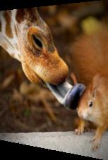 Giraffe schleckt Eichhörnchen