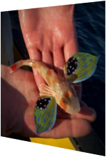 Fisch mit exotischen Flügeln