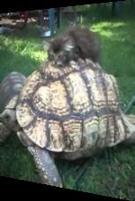 Diese kleine Katze macht es sich auf dem Schildkrötenpanzer bequem