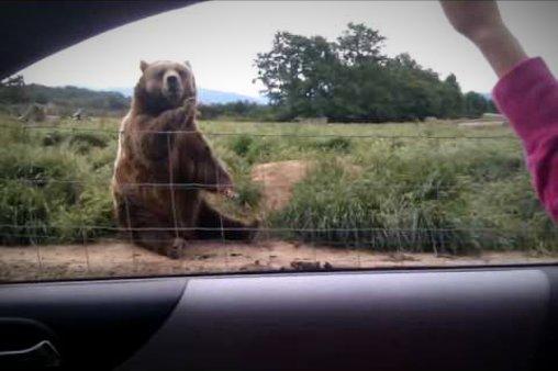 Dieser Bär ist durchaus wohlerzogen