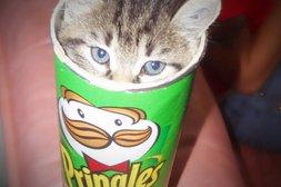 Katze in der Pringles Box