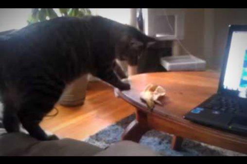 Bananenschale bringt Katze zum Fliegen