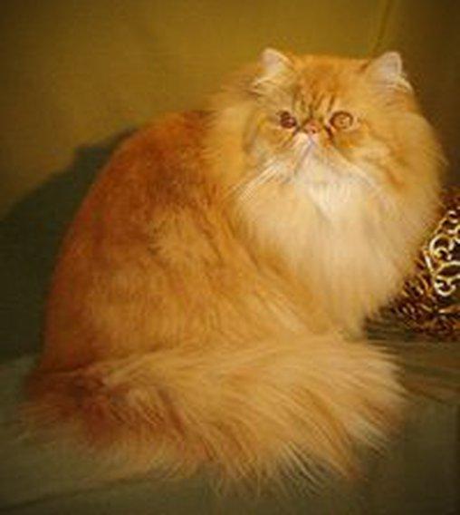 Diese Katze ähnelt einem Wollknäuel