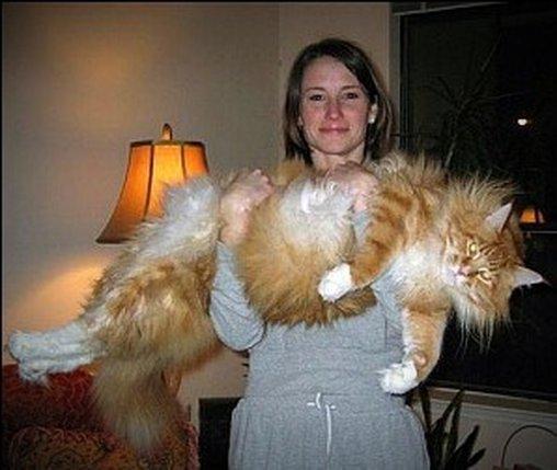 Diese Katze erinnert an einen Löwen