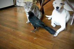 Diese Krähe sucht neue Freunde bei der Katze und beim Hund