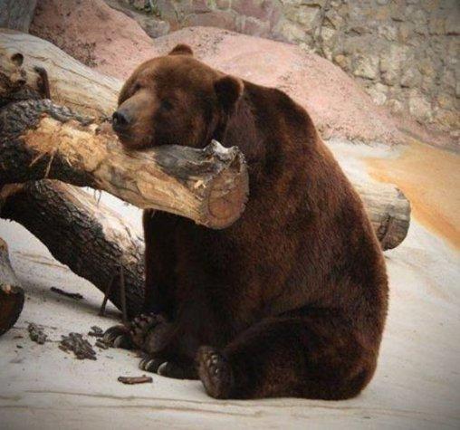 Dieser Bär ist im Sitzen eingeschlafen.