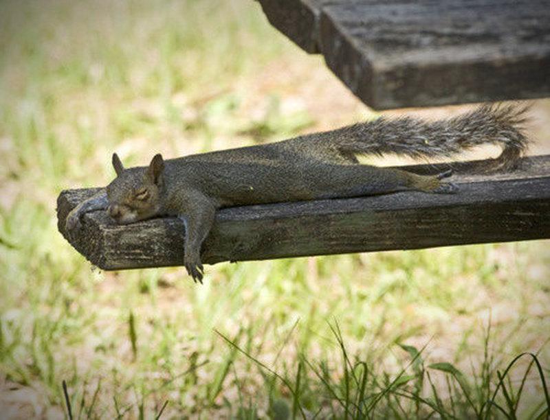 Ein müdes Eichhörnchen beim Ausspannen.