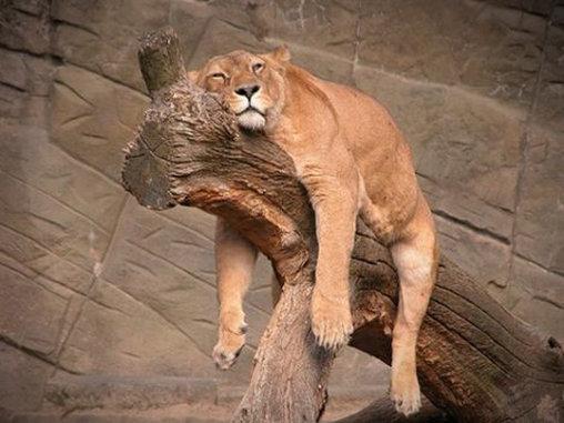 Eine sehr müder Löwin.