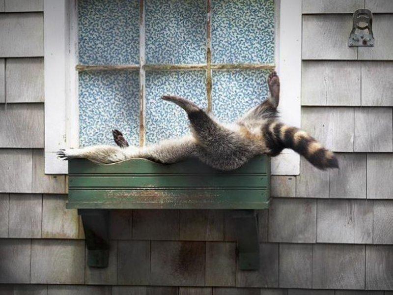 Interessanter Schlafplatz für einen Waschbären.