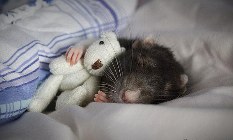 Obwohl Ratten ja eigentlich nicht zu den niedlichen Tieren gehören, dieses Schlafbild ist doch einfach nur putzig, oder?