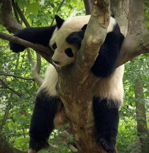 Schlafender Panda – ein Zustand völliger Erschöpfung.