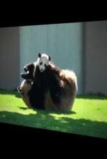 Pandabär-Mama spielt mit ihrem Baby