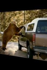 Bär öffnet Autotür