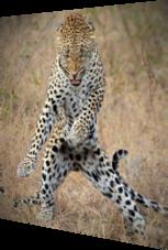 Gepard fühlt den Blues