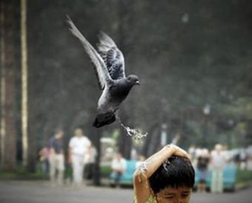 Taube attackiert Jungen